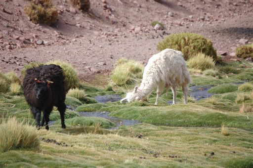 llamas-of-machuca
