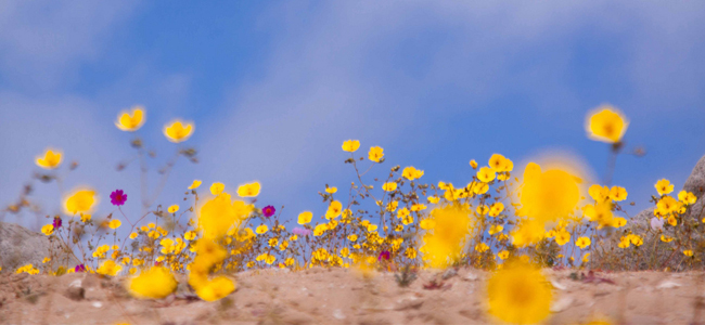 Desierto_florido-beethoven