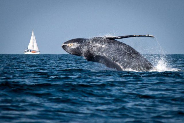 ballena-jorobada